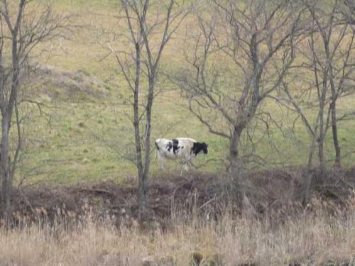 川向の牧場には牛が・・・