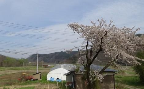 ハウス_桜