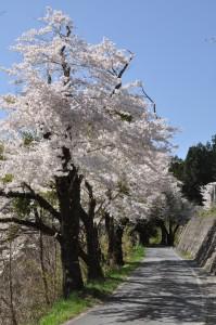 浅内小学校下の桜並木
